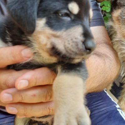 Hund aus Tierschutz Rumänien adoptieren Welpe Halya