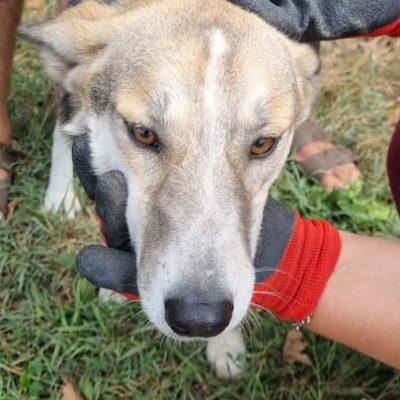 Hund aus Tierschutz Rumänien adoptieren Huskymischling Sina